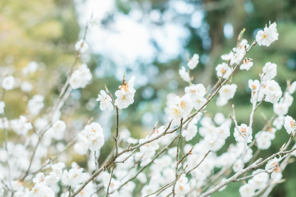 湯田川温泉の梅まつり